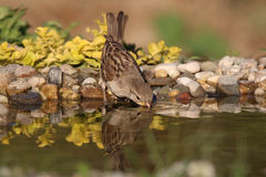 Agua potable del pájaro Fotografía de archivo libre de regalías