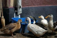 Agua potable del pato Fotos de archivo libres de regalías