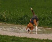 Agua potable del perro del beagle Fotografía de archivo