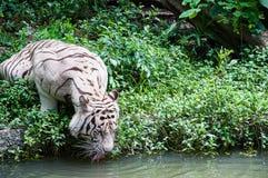 Agua potable del tigre blanco Imagen de archivo