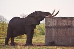 Agua potable del toro enorme del elefante Fotografía de archivo libre de regalías