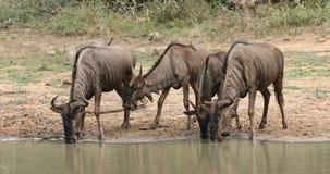 Agua potable del Wildebeest azul almacen de video