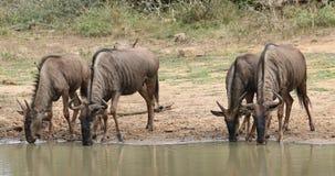 Agua potable del Wildebeest azul metrajes