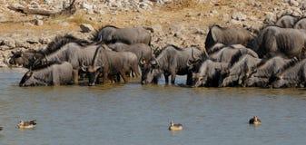 Agua potable del Wildebeest azul Foto de archivo