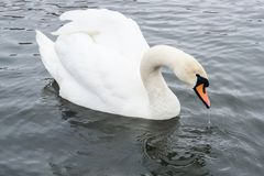 Agua potable mágica blanca del cisne fotos de archivo libres de regalías