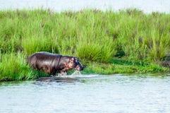 Agua que entra del hipopótamo Imagen de archivo libre de regalías
