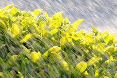 Agua que pinta (con vaporizador) en el arbusto del verdor Imagen de archivo libre de regalías