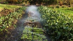 Agua que rocía en la fila de la pequeña granja de las verduras imágenes de archivo libres de regalías