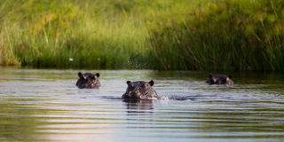 Agua que sopla del hipopótamo Imagenes de archivo