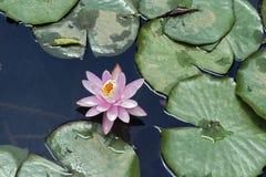 Agua rosada lilly Imagenes de archivo
