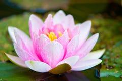 Agua rosada lilly Fotos de archivo libres de regalías