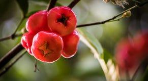 Agua Rose Apple fotos de archivo libres de regalías