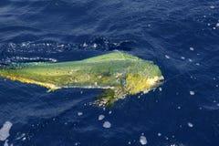 Agua salada colorida del deporte de los pescados de Dorado Imagenes de archivo
