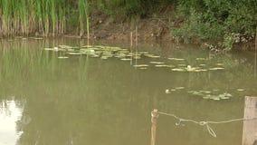 Agua verde en el lago Agua turbia En las hojas siente las ranas almacen de metraje de vídeo