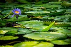 Agua violeta lilly en la charca por completo de sus hojas imagenes de archivo