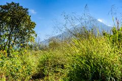 Agua volcano & lush meadow, Guatemala. Agua volcano & lush meadow of tall grasses & wildflowers in early morning light, Guatemala, Central America stock images