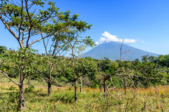Agua volcano & woodland. Rough grassland with saplings & young trees growing & woodland with Agua volcano in background in Escuintla, Guatemala, Central America royalty free stock photo
