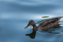 Agua y pato Fotografía de archivo