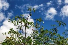 Aguacate de Growind y backgorund del cielo azul en la isla de Oahu foto de archivo libre de regalías