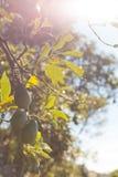 Aguacate en la rama rodeada con las hojas Foto de archivo libre de regalías