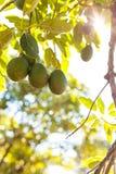 Aguacate en la rama rodeada con las hojas Fotografía de archivo