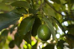 Aguacate que crece en árbol Fotografía de archivo libre de regalías