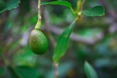Aguacate que crece en un árbol en la isla de Oahu imágenes de archivo libres de regalías