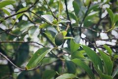 Aguacate que crece en un árbol en la isla de Oahu imagen de archivo libre de regalías
