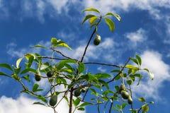 Aguacate y backgorund del cielo azul en la isla de Oahu fotos de archivo