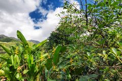 Aguacate y otras plantas tropicales en el jardín, isla de Oahu foto de archivo