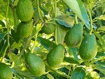 Aguacates maduros que crecen en árbol como cosecha Imagen de archivo libre de regalías