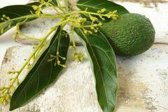 Aguacates verdes frescos con las hojas Fotografía de archivo libre de regalías