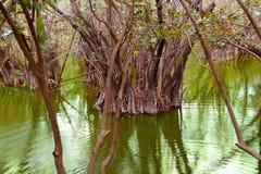 aguada cenote dżungla majski Mexico Riviera Obraz Royalty Free