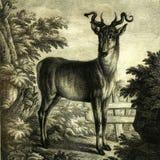 Aguafuerte principal del paisaje del detailin de los ciervos de las antigüedades que graba al agua fuerte foto de archivo