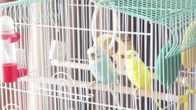 Aguardando la libertad - un loro australiano hermoso amarillo enjaulado Loro colorido grande en la jaula blanca dos loros ondulad almacen de metraje de vídeo
