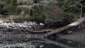 Aguas inmóviles azules del sonido de puget con el borde y la playa del bosque metrajes