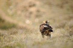 Aguila reala adulta Obrazy Stock
