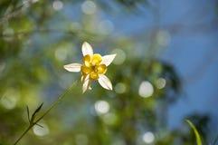 Aguileña amarilla contra un cielo azul Imágenes de archivo libres de regalías