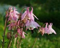 Aguileña rosada floreciente, aquilegia Fotografía de archivo libre de regalías
