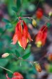 Aguileña salvaje - Aquilegia Canadensis Fotos de archivo libres de regalías