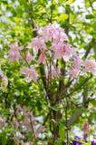 Aguileña vulgaris de Aquilegia, el capo de la abuelita - visión de debajo fotografía de archivo libre de regalías