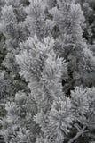 Aguja congelada del árbol de abeto después de la ventisca Foto de archivo libre de regalías