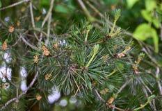 Aguja del pino Imagen de archivo libre de regalías