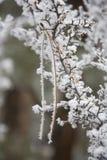 Aguja del pino de la cubierta de la escarcha en arbusto de grosella espinosa foto de archivo libre de regalías