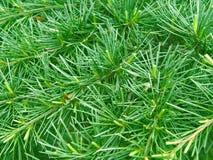 Aguja del pino. Fondo verde imagenes de archivo