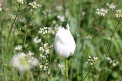 Aguja del tulipán Foto de archivo