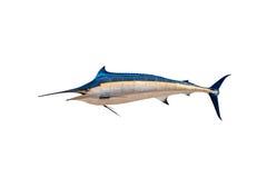 Aguja - peces de agua salada de los peces espadas, del pez volador y x28; Istiophorus& x29; aislante Foto de archivo libre de regalías