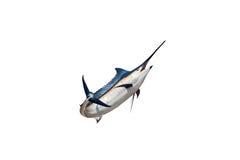 Aguja - peces de agua salada de los peces espadas, del pez volador y x28; Istiophorus& x29; aislante Imagen de archivo