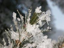 Agujas congeladas del pino Foto de archivo libre de regalías