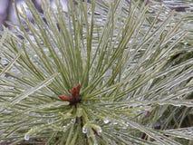 Agujas congeladas del pino Fotos de archivo